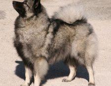 """Deckmeldung Wolfsspitz """"von Fritzi´s Wölfen"""""""