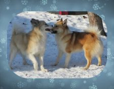 "Deckmeldung Islandhunde ""Austurrikis"""