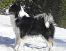 islandhund-schwarz