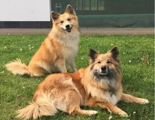 Islandhunde vom Feinasberg