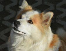 "Deckmeldung Islandhunde von"" Keisaraskógur"""