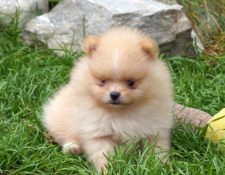 "Pomeranian ""CORAZON DEL AMOR"""