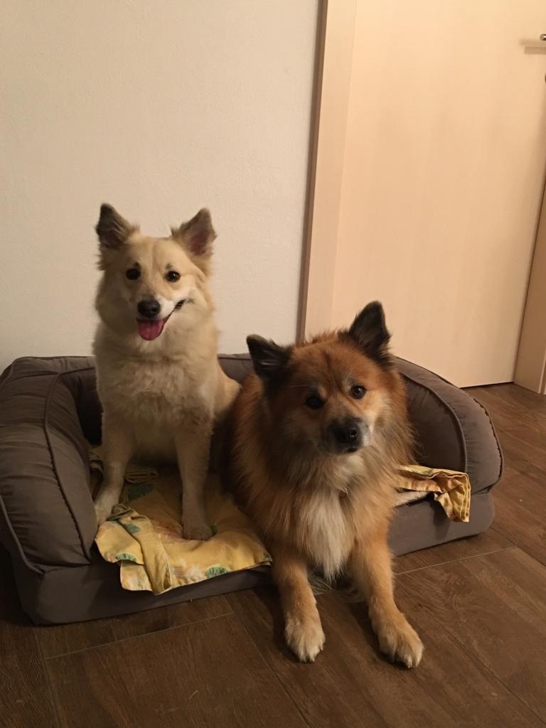 """Wurfmeldung Islandhunde """" Keisaraskógur"""""""
