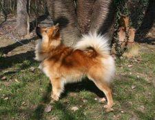 Wurfmeldung Islandhunde