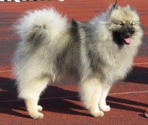 Wolfsspitz (Bild: Wikipedia)